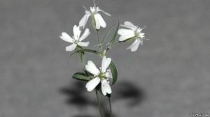 این گل زیبای عصر یخبندان همین دو سه ماه پیش احیا شد. دانشمندان روسی برای این کار از ژنهای بهدست آمده از دانهها و میوهی ذخیره شده در انبار آذوقهی یک سنجاب سیبریایی ۳۰ هزار سال پیش استفاده کردند. فعلاً بین روسها و ژاپنیها رقابت بر سر احیای ماموتهای منقرض شده در عصر یخبندان است!