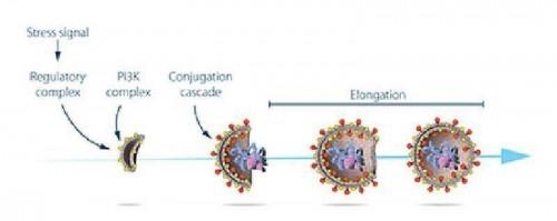 تصویر ۳. مراحل تشکیل اتوفاگوزوم: اوسومی کارکرد پروتئینهایی را که توسط ژنهای کلیدی اتوفاژی کددار شده بودند، مطالعه کرد. او نشان داد که چگونه استرس سبب آغاز اتوفاژی میشود و با چه مکانیسمی پروتئینها و مجموعههای پروتئینی مراحل مجزای تشکیل اتوفاگوزوم را پیش میبرند.