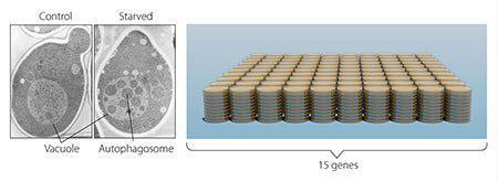 تصویر ۲. مخمر: در مخمر (سمت چپ) بخش بزرگی وجود دارد که واکوئول نامیده میشود و معادل لیزوزوم در سلولهای پستانداران است. اوسومی مخمرهای فاقد آنزیمهای تخریبکننده واکوئولی ایجاد کرد. وقتی این سلولهای مخمر، گرسنه نگه داشته شدند، اتوفاگوزومها بهسرعت داخل واکوئولها تجمع پیدا میکرد (قطعه میانی). آزمایش او نشان داد که اتوفاژی در مخمر وجود دارد. بهعنوان قدم بعدی، اوسومی هزاران مخمر جهشیافته (سمت راست) را مطالعه و ۱۵ ژن ضروری برای اتوفاژی را شناسایی کرد.