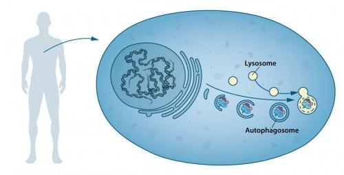 تصویر ۱. اتوفاگوزوم: سلولهای ما بخشهای تخصصیافته مختلفی دارند. لیزوزیم یکی از این بخشها را تشکیل میدهد و حاوی آنزیمهایی برای هضم اجزای سلولی است. یک نوع جدید وزیکول که اتوفاگوزوم نامیده میشود، داخل سلول مشاهده شده است. وقتی اتوفاگوزوم شکل میگیرد، اجزای سلولی مثل پروتئینهای خرابشده یا ارگانل را میبلعد؛ سپس به لیزوزیم ملحق شده و آنجا محتویات آن، به بخشهای کوچکتر تشکیلدهندهشان تجزیه میشود. این روند مواد مغذی برای سلول و قطعات ساختمانی برای ترمیم مجدد تولید میکند.